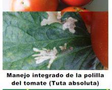 Manejo integrado de la polilla del tomate (Tuta absoluta) | Agrocabildo
