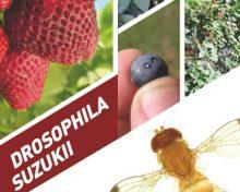 Drosophila suzukii | Agrocabildo